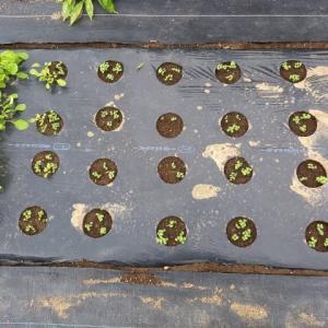 2回目のルッコラは自家採種品を蒔いた。