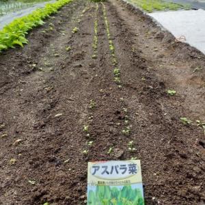 アスパラ菜、発芽してくれました。