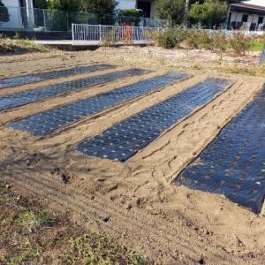 「タイガージェット」を2畝に植えました。