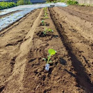 茎ブロッコリー「グリーンボイス」植えた