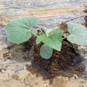 不耕起の場所に、冬瓜植えた