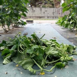 胡瓜の下葉処理