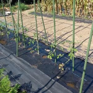 植えたミディトマトは活着してくれましたが。