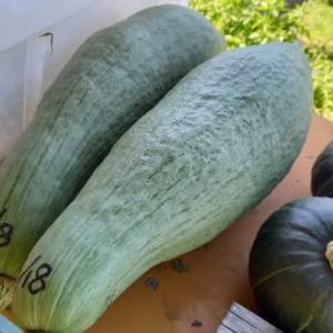 カボチャ2回目の収穫