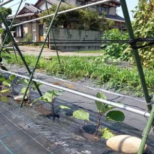 秋茄子用自家採種黒十全5本定植
