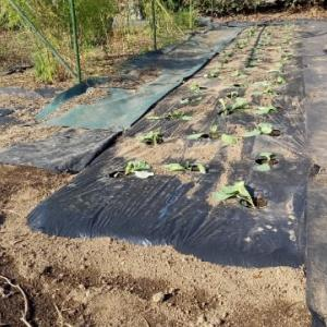 キャベツ2種植えた