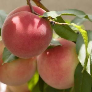 やまなし桃の日