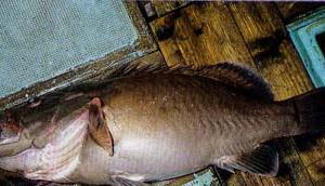 大きさ1メートル巨大クエに漁師も驚く・・・〔動画あり〕