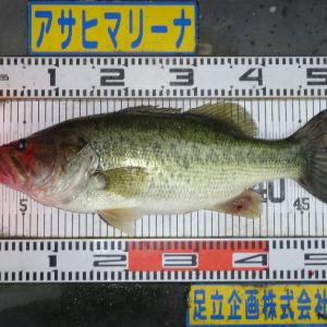 大和 兄 ゲスト 様 52.0cm/2250g
