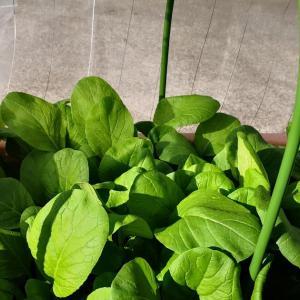小松菜(10月26日に種まきした)と大根の収穫