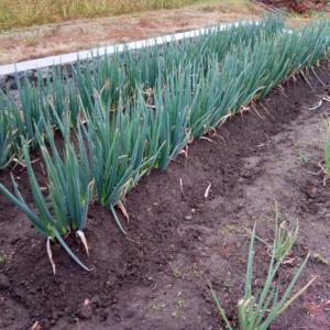 苗を植える前に、土作り