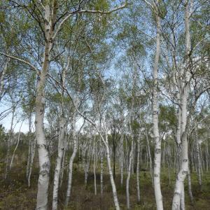 白樺の芽吹く頃~八千穂高原白樺群生林へ