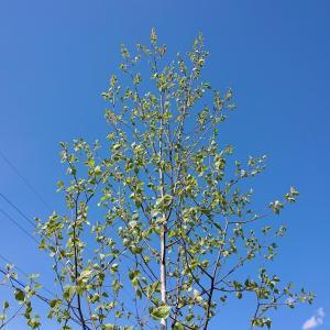 長野県木「白樺」~魅力と悩ましさ