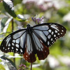 蝶の楽園~今年もアサギマダラが飛来しました