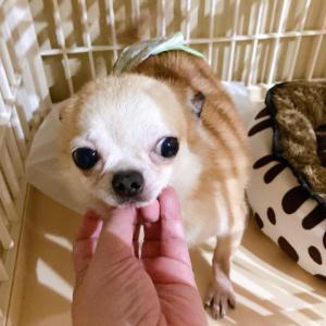 繁殖犬のチワワ2頭を引き取りました♪
