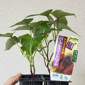 【家庭菜園】袋栽培でサツマイモ!mo!