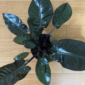 【サトイモ科】真っ黒い植物:フィロデンドロンブラックカージナル