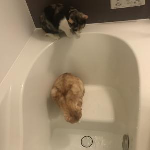 猫はお風呂が好き?お風呂までついて来る理由とシャンプーのやり方。