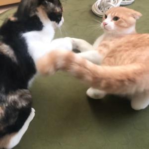 【猫のショート動画】みみとむむの奮闘まとめ①
