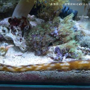 【海水水槽】底砂掃除の強い味方カノコナマコ(リュウキュウフジナマコ)