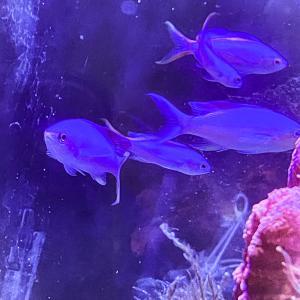 【海水魚】パープルクイーンアンティアスの雄化の傾向