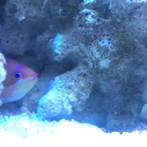 【海水水槽】アカネハナゴイ飼育 混泳可能で見た目も抜群。だけと意外とトラブルが・・・