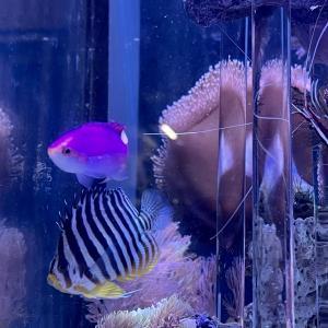 【海水魚飼育】意外に難しいシマヤッコ飼育 餌付けのポイント