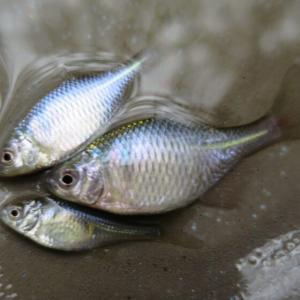 1月23日 冬の雨でもタナゴ釣り