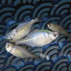 1月24日 雨の合間にタナゴ釣り
