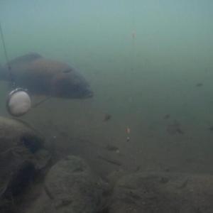 9月11日・12日 久々のタナゴ水中撮影