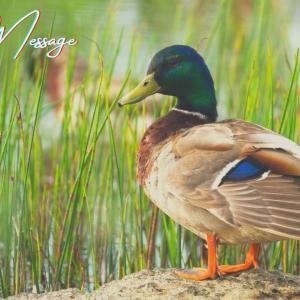 鴨とスピリチュアル!意味・メッセージ/縁起/つがい/飛ぶ瞬間/親子を見るなど