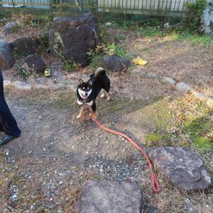 柴犬の運動