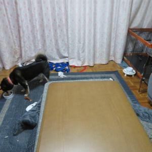 柴犬たちの部屋
