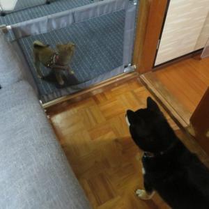 本日の2匹の柴犬。