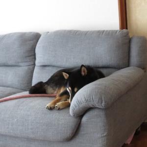 柴犬多頭飼いの昼寝