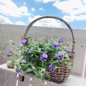 夏のお花トレニア