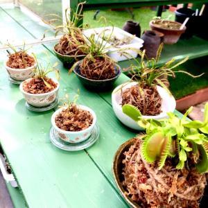 庭の棚と食虫植物