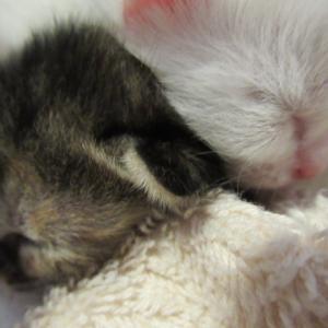 生後1ヶ月のハチワレ4兄弟/生後4日の錆と白の2頭