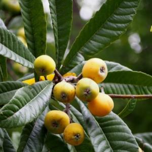 化学物質過敏症を癒やす、びわの葉療法