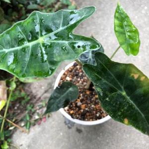 斑入りアマゾニカの栽培記録。寒さには弱かったです。温度管理に注意してね。