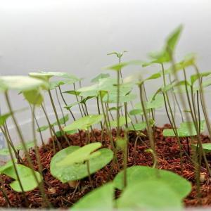 【多肉植物の実生】アフリカ亀甲竜の種まき【播種】のコツを解説