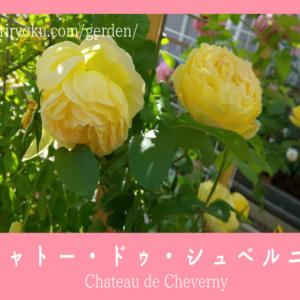 【黄色のバラ】シャトー・ドゥ・シュベルニー!人気おススメ レモンイエローのカップ咲き