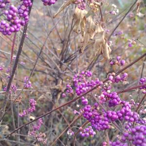 風よけと紫式部の実