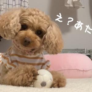 お節介トイプードル 犬の忠誠心