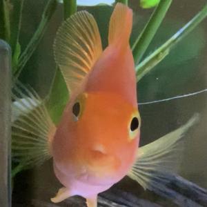 【人に懐く魚】パロットファイヤー【熱帯魚】