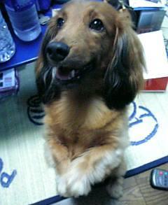 【体験談】犬の肥満は虐待です!よく食べる犬のダイエット成功法!