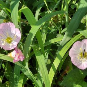 昼咲き月見草とスペシャルゲスト。