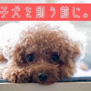 【トイプードルの飼い方】子犬をお迎えする前に知っておいてほしい事