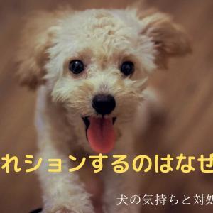 【犬の悩み】トイプードルはなぜ「うれしょん」するの?原因と対策について