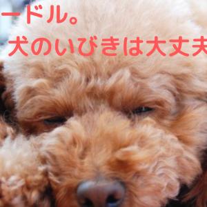 トイプードルはいびきをかくの?犬のいびきの原因と気をつけるべき事。【病気のサインかも?】
